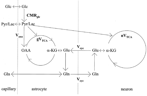 glutamate-glutamine cycle image